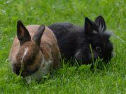 Zwerg-Kaninchen abzugeben