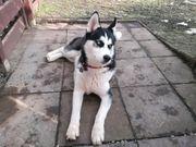 Husky Welpen zu verkaufen