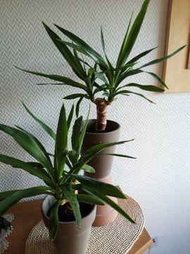 Pflanzen - Yucca