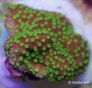 Meerwasser Korallen Montipora hoffmeisteri