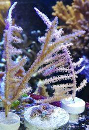Meerwasser Gorgonien 3er Set