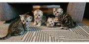 Süße Babykatzen - Scotish Fold