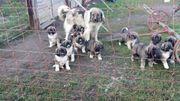 Kaukasen Herdenschutzhunde Welpen
