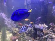 Paletten Doktorfisch sucht neues Zuhause
