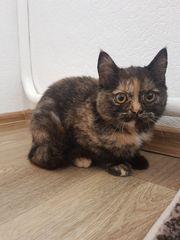 BKH Katze 6 Monate alt