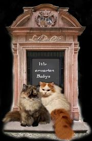 Katzen Babys BLH Wurfankündigung für