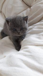 BKH - Kleine junge Katzen - Geboren