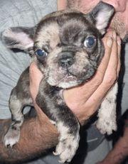 Französische Bulldoggen Blue - Merle schoko