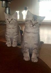 Reinrassige BKH Kitten mit Stammbaum