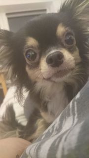 Chihuahua sucht Zuhause