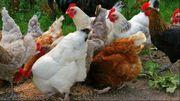 Sussex Hühner Nachzucht zu verkaufen
