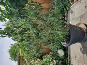 Oleander alte Sorte