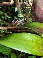 Epipedobates anthonyi 1 0 Männchen