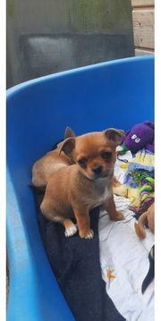 Reinrassige Chihuahuawelpen dürfen ausz