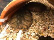 Moshusschildkröten mit Aquarium und Zubehör