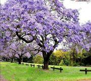 Blauglockenbaum Samen und Stämmchen