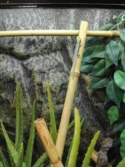 Phelsuma klemmeri Blauer Bambus Taggecko