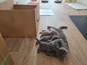 Reinrassige BKH Kitten in Farbe