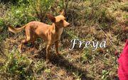 Liebevolle und verschmuste Podenca Freya