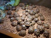 Griechische Landschildkröten Thb - Nachzuchten 2018