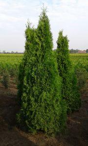 Heckenpflanzen Kirschlorbeer Prunus Taxus Eibe