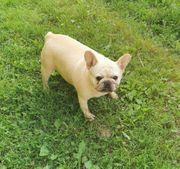 Französische Bulldoggin