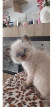 Colourpoint Kätzchen suchen neues Zuhause