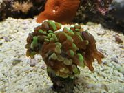 Meerwasserkoralle Euphyllia 3 Köpfe