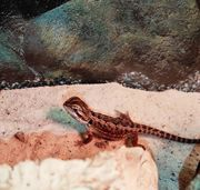 Rot gelbe Baby-Bartagame in Leatherback