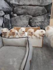 Pomeranian Zwergspitz Welpen suchen Zuhause