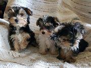 Yorkshire Biewer Terrier Welpen
