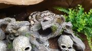 2 königspythons