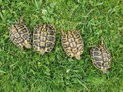 Landschildkröten Thh Weibchen NZ 2016