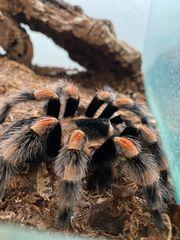 Vogelspinnen B smithi A seemani