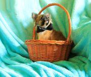 Süße mini Langhaar Chihuahua Rüde