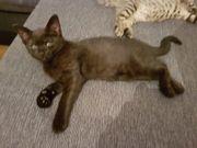Schwarzes Bengal-BKH Kitten zu verkaufen