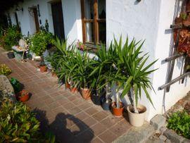 Yucca-Palmen: Kleinanzeigen aus Eggenfelden - Rubrik Pflanzen