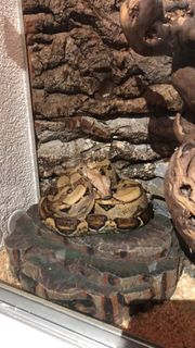 Boa Constrictor Imoerator