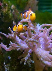 Pärchen Clownfische Nemo s Koralle