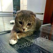 Deckkater Scottish Fold Blue Silver