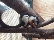 Schönhörnchen Prevosti Prevosti