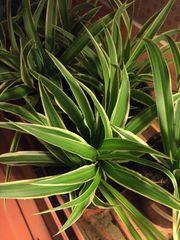 Grünlilie-Ableger zu verschenken