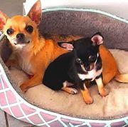 Bildschöner reinrassigen Chihuahua Welpe