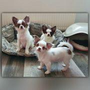 Chihuahua Welpen mit Ahnentafel