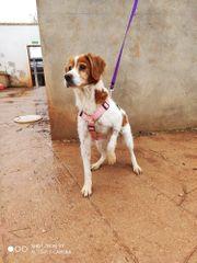 DRINGEND Laika5 ältere anhängliche Hundedame