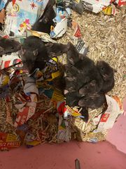 Rattenbabys