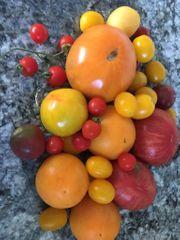 Tomatensetzlinge