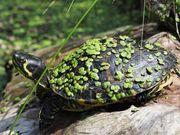 Wunderschöne Wasserschildkröten für den Sommerteich -