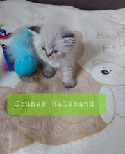 Perser kitten abzugeben