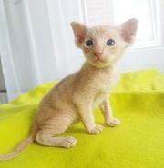 Peterbald Kitten